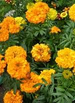 Бархатцы (тагетес) – растение против нематод.