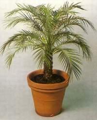 Всё о комнатных растениях! Palma